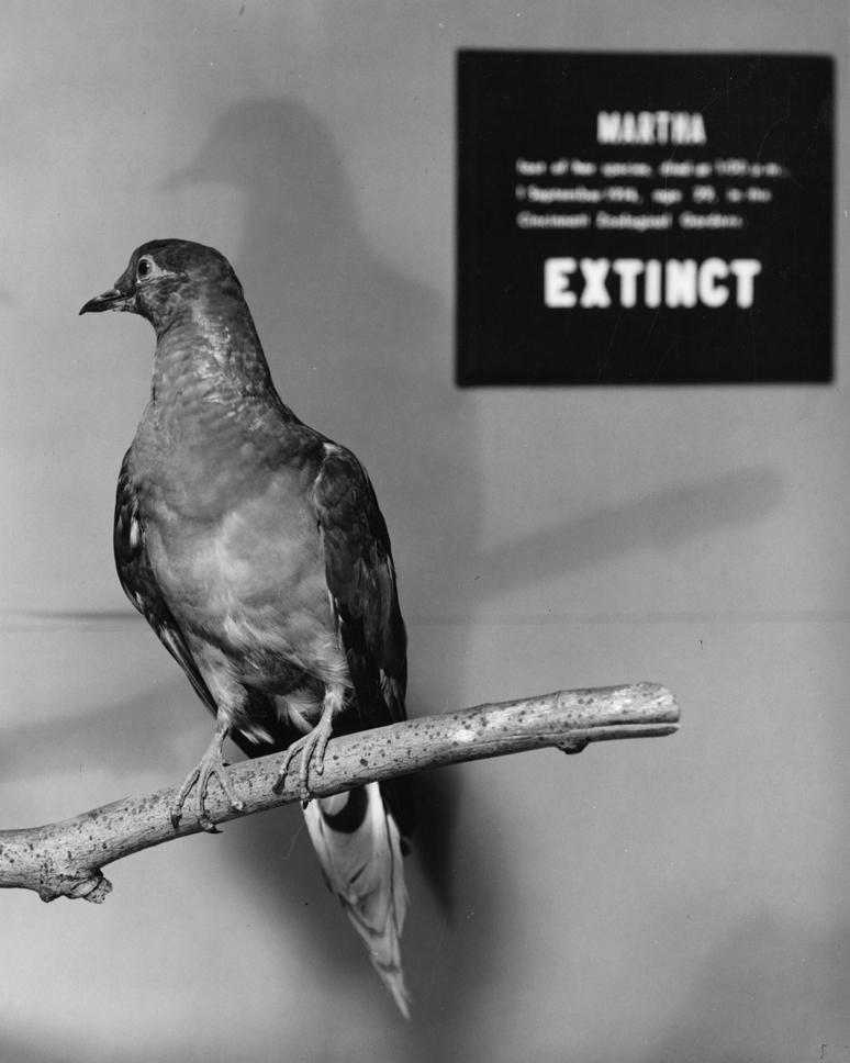 Martha_Passenger_Pigeon