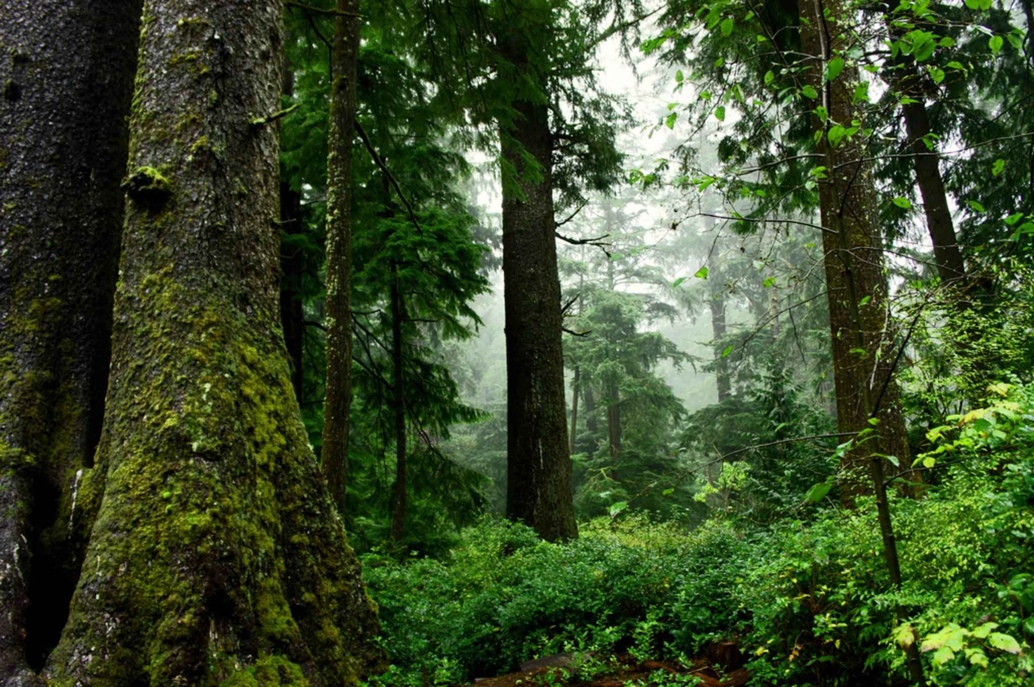 Old_growth_forest_scenic
