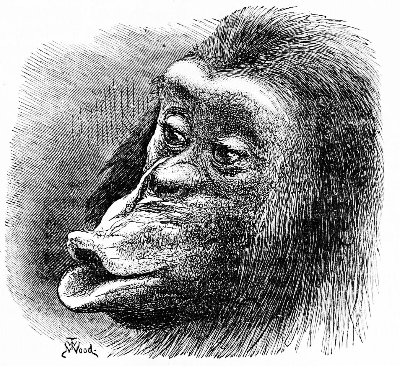 PSM_V02_D465_Sulky_chimpanzee