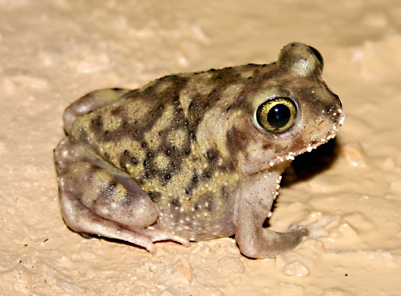 1-Couch's Spadefoot