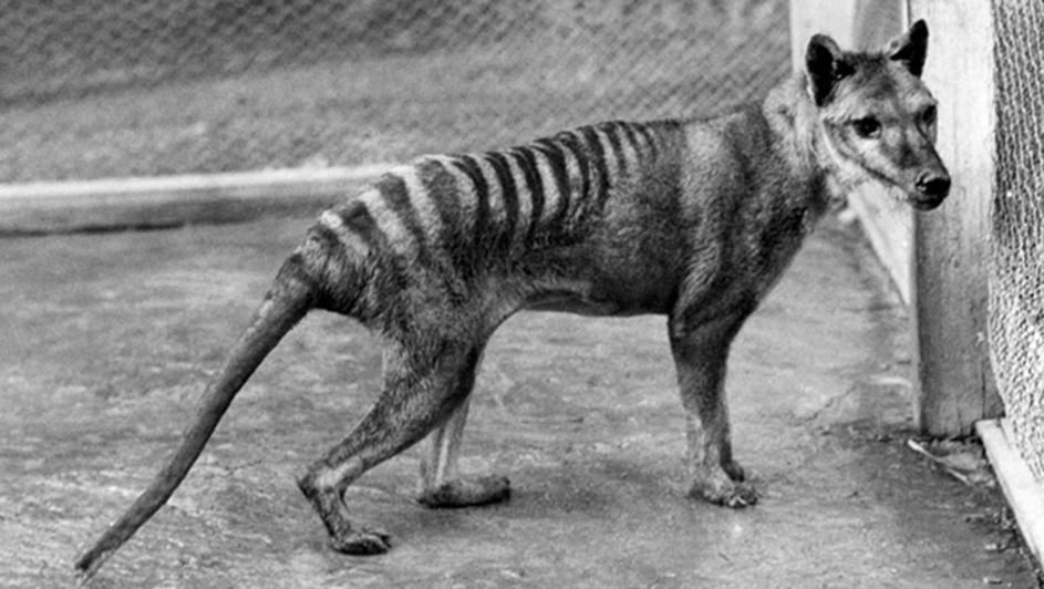 thylacine-tasmanian-tiger