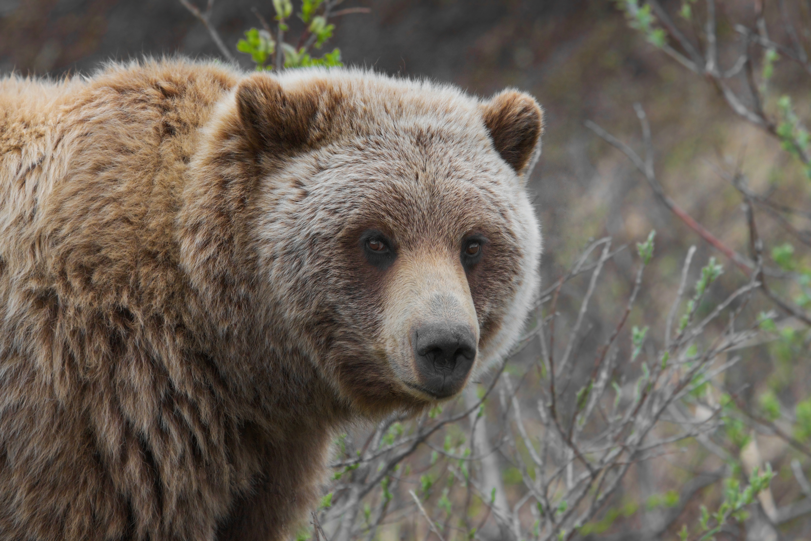 grizzly_bear_-ursus_arctos_ssp